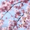 たらの芽は、八分咲きの桜の頃がよいそうです!